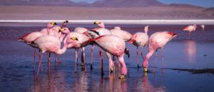 header flamands rose